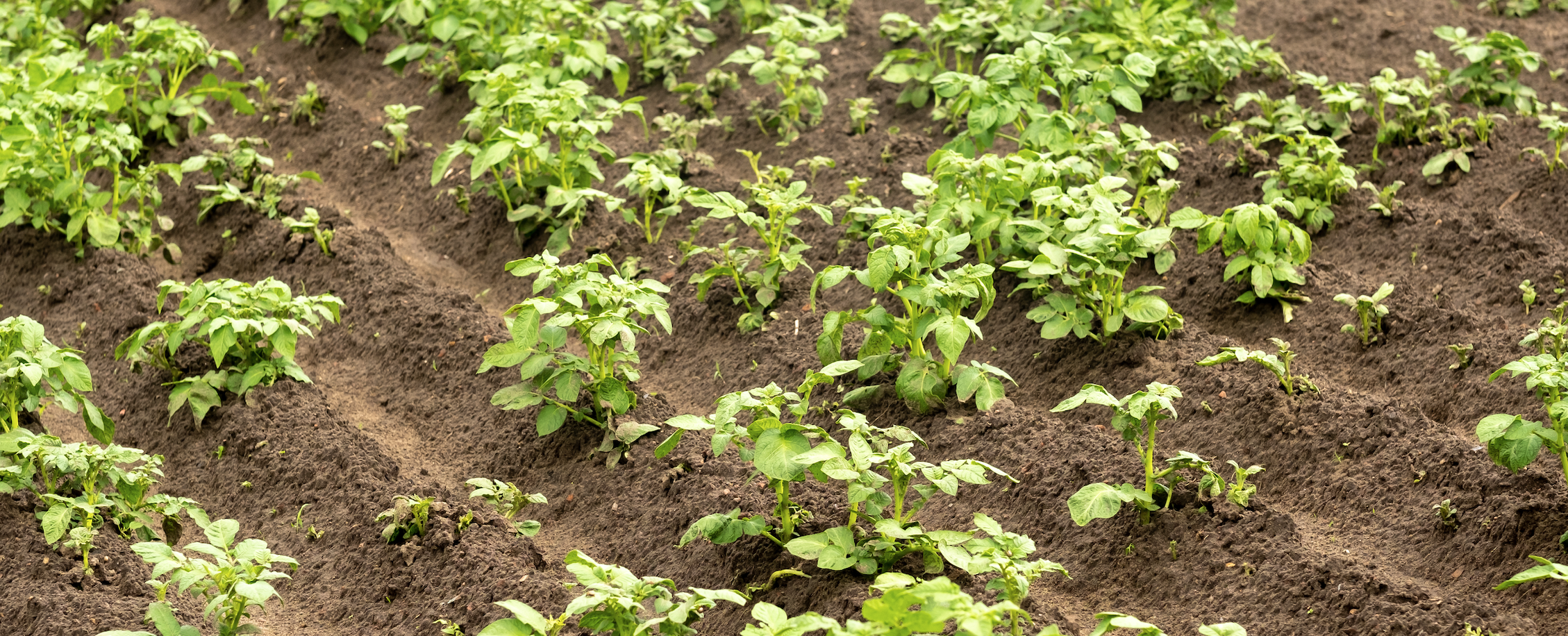 Wondering how to grow potatoes from a potato? Its easier & more rewarding than buying from a store! Grow organic healthy potatoes for pennies!