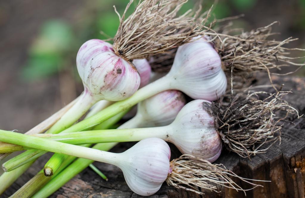 How to Grow Garlic Image