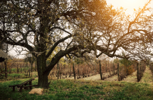 What Is A Natural Wine? Natural wine with fewer additives and preservatives make for the same wine enjoyed years ago before profits mattered. Tree and wine field with wooden bench.