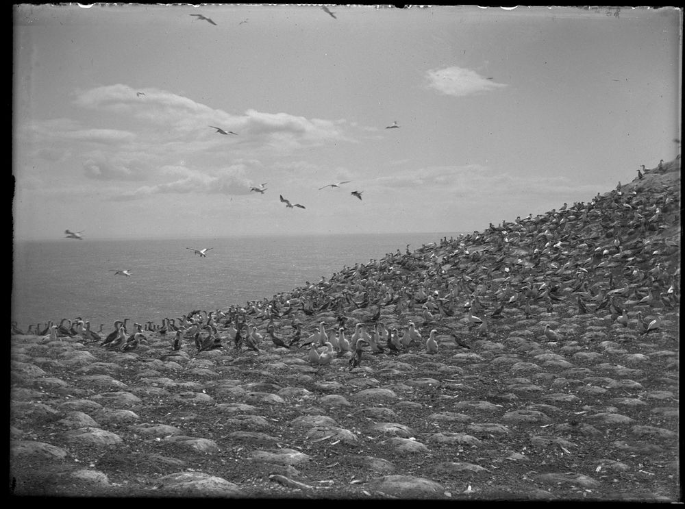 The Gannet Colony Image