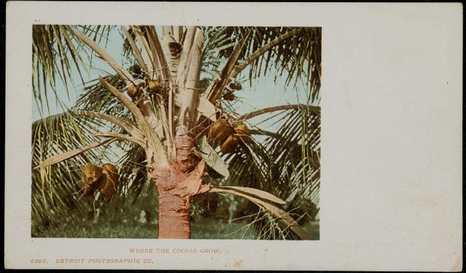 Where the cocoas grow Image