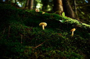 Microdosing mushrooms reaches a new generation is using mushrooms to work better and manage anxiety, depression, and other problems. Liam Briese mushrooms in forest