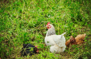 Raising Chickens At Home? Homegrown eggs are a superfood, they aren't treated with preservatives, antibiotics or other chemical agents.