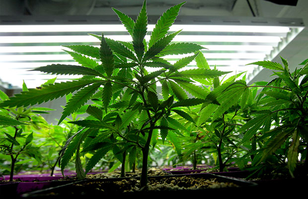 How to Grow Cannabis at Home Image