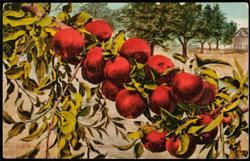 How Red Apples Grow in Washington Image