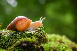 The Snail With the Right Heart Is a children's book by Maria Popova which talks about the mating rituals of snails. This is a snail in the forest. Close up brown snail (African snail, Achatina fulica) creeps on the of the green moss. Giant snail (Achatina fulica) crawling on green moss